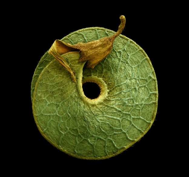 Medicago arborea - Tree medick, seed. 2013. Hand coloured micrograph