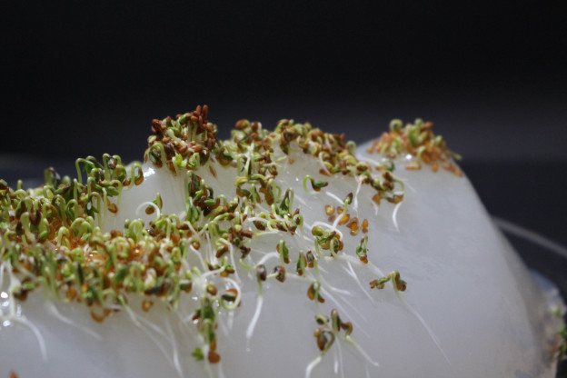 Mellissa Fisher: Cress,  in collboration with Dr Mark Clements & Dr Richard Harvey