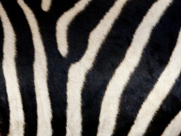 Skin of a Grant's Zebra near Chilanga, Zambia. (© Hans Hillewaert / CC BY-SA 4.0)